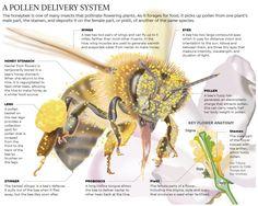 What makes the honey bee a super pollinator. #honeybee #beekeeping