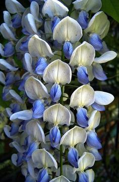 Blue Wisteria by vajra, via Flickr