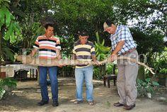 En zona rural de Bugalagrande cosecharon una yuca gigante La yuca, de más de tres metros de largo y 50 libras de peso, fue hallada en una finca del corregimiento de Mestizal.