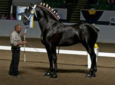 Bentley - Percheron