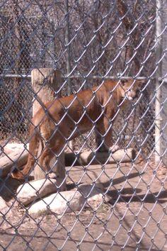 Cougar at stoon zoo