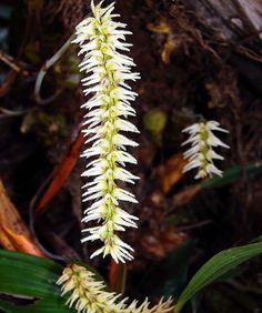 Inflorescence of Bulbophyllum pallidum