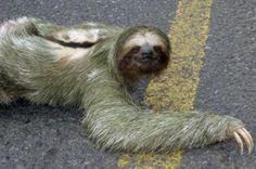 three-toed sloth, or Bradypodidae