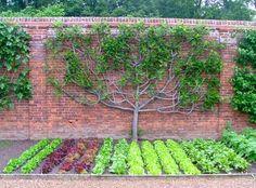 Edible Landscaping: espaliered fig, vegetable garden | jardin potager | bauerngarten | köksträdgård