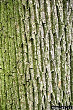 English oak, Quercus robur  (Fagales: Fagaceae) - 1261044