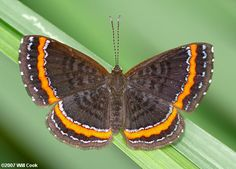 butterfly species pictures in equador | Ecuador Butterfly Photos - Metalmarks