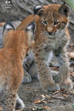lynx siblings meeting - null