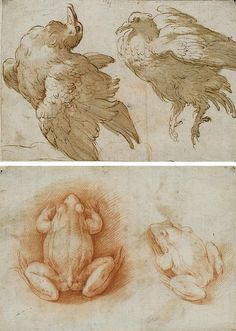 Parmigianino (Girolamo Francesco Maria Mazzola), Two studies of a dove (recto); Two studies of a frog (verso), red chalk, pen and brown ink