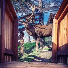🦌 So nahe war ich dem Hirsch noch nie! Ein wirklich selten erhabenes und schönes Tier. Kein Wunder, dass es im alpinen Raum auf jedem zweiten Logo vertreten ist. 🦌    #Regram via @green_kitz Wilder Kaiser, Giraffe, Logo, Places, Nature, Animals, Animales, Nice Asses, Pictures