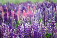 lupin field in spring Royalty Free Stock Photo