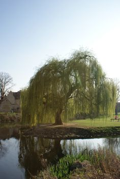 Weeping willow tree!! i will have one :)