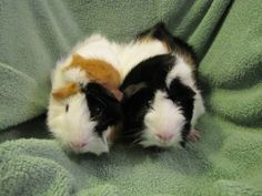 Weewee & Runt is an adoptable Abyssinian Guinea Pig in Durham, NC.