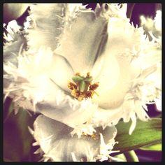 Tulip Tulips, Tulip