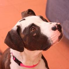 08000_Tabatha is an adoptable Pit Bull Terrier Dog in Oakland, CA. Hey! Thanks for stopping by. My name is Tabatha. I'm a energetic 3-year old pit bull terrier girl with lots of love to give. I came t...