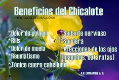 BENEFICIOS DEL CHICALOTE