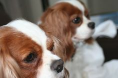 Cavalier King Charles Spaniels, Dogs, cute