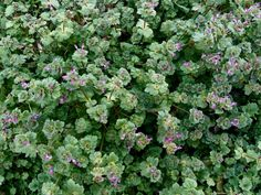 """How to identify Henbit and Purple Deadnettle, two early, edible """"weedy"""" wildflowers of early spring. Packed with nutrients, and medicinal too! From the ForagedFoodie"""