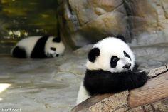 Two sweet little Pandas!