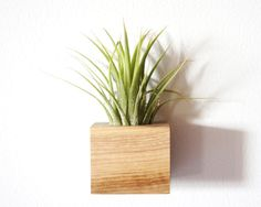 Air Plant with Magnetic Planter by Moss + Twig