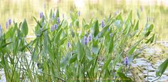 Waterlilies Water Lilies, Environment, Fairy, Wood, Plants, Woodwind Instrument, Timber Wood, Trees, Plant