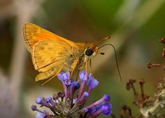 Butterflies of North America - Atalopedes campestris