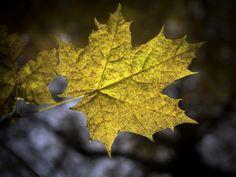 https://flic.kr/p/zF9JzZ | Ahornblatt | Ahornblatt im Herbst