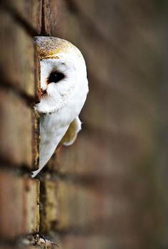 Barn owl peeking.
