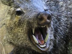 View Stock Photo of Javelina Angry Boar Pig Peccary Fangs. Find premium, high-resolution photos at Getty Images. Baby One More Time, Hog Hunting, African Wild Dog, Wild Boar, Animal Totems, Character Aesthetic, Character Design, Brown Bear, Mammals