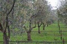 Our Petaluma ranch is planted with 80 acres of Italian olive trees including Frantoio, Leccino, Pendolino, Maurino, Leccio del Corno, Mauraiolo and Coratina.