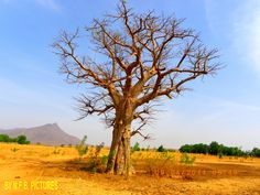 Baobab asséché à Maroua /// Etrême-Nord /// Cameroun