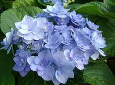 Hydrangea macrophylla You and Me Together Blue