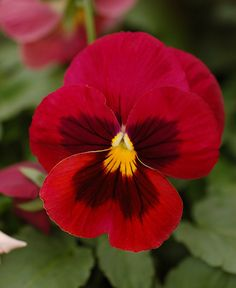 0.2g+approx.+200++red+blotch+pansy+seeds+VIOLA+by+seedslt+on+Etsy,+$1.65