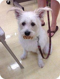 West Palm Beach, FL - Westie, West Highland White Terrier/Wheaten Terrier Mix. Meet Candy a Dog for Adoption.