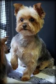 Image result for cute haircuts for yorkies