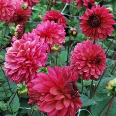 Dahlia 'Bacardi' - Rose Cottage Plants