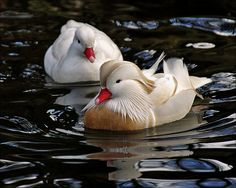Couple white mandarin ducks by Foto Martien, via Flickr