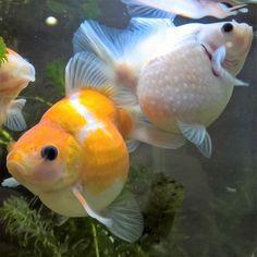 【seiki_oto】さんのInstagramをピンしています。 《• Pearlscales. Left:Male Right:Female I want to breed this pair. • • 赤勝ちが雄♂で白が雌♀ どちらも鱗のモコモコが少ないけど 春の産卵期にはこの2匹で 仔引き予定。 • • #pearlscale #goldfish #goldfishunion #fancygoldfish #kingyo #aquarium #watertank #japanology #水槽 #アクアリウム #金魚 #きんぎょ #ピンポンパール #パールスケール #真珠鱗 #珍珠鱗》
