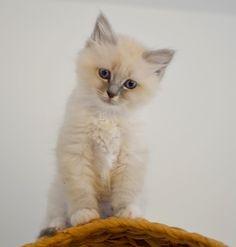 Daim is for sale! #minivaniljer #minivaniljerna2016 #birma #birman #breeder #catsofinstagram #chokladochvanilj #kitten #pinkalicious #welovecats #we_love_cats
