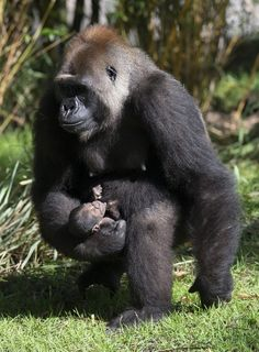 New Baby Gorilla born at Disney's Animal Kingdom! This baby boy was born August 7th and is happily bonding with his mother. S