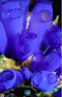 Blue Tunicates