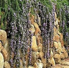 "Rosmarinus officinalis ""Irene"" - known as prostrate or trailing rosemary"