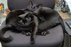 Black cats are supposed to have the best attitudes.