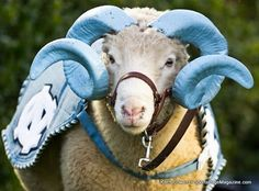 1000 Images About Rameses On Pinterest Tar Heels