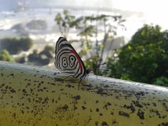 Borboleta fotografada em Foz do Iguaçú - Brasil.