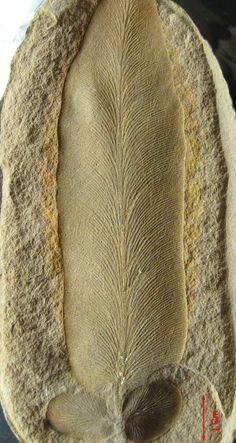 Fossil fern, Macroneuropteris scheuchzeri
