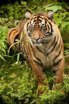 Amazing wildlife - Sumatran Tiger photo by Dick van Duijn Beautiful Cats, Animals Beautiful, Animals And Pets, Cute Animals, Tiger Love, Tiger Tiger, Cat Species, Belle Photo, Big Cats