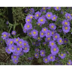Perennial Lilac Blue Hardy Aster