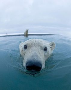 """Polar bears roam the Arctic ice sheets and swim in that region's coastal waters. They are very strong swimmers, and their large front paws, which they use to paddle, are slightly webbed. Some polar bears have been seen swimming hundreds of miles from land—though they probably cover most of that distance by floating on sheets of ice."" --National Geographic"