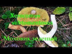 Моховик зелёный - съедобный гриб. - YouTube