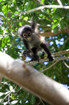 Curiosity mid chew by stochasticmotions, via Flickr         Curiosity mid chew by stochasticmotions on Flickr.        Baby spider monkey getting a closer view #Barry Scully